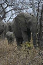 Elephants on a stroll