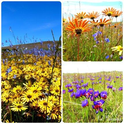 Wild Flowers in Darling