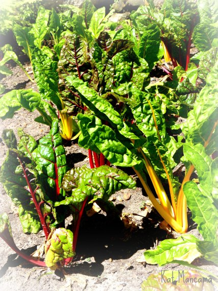 Spinach in the Vineyard's veggie garden: beautiful, organic and no doubt turned into a very tasty dish by Shane and his team!