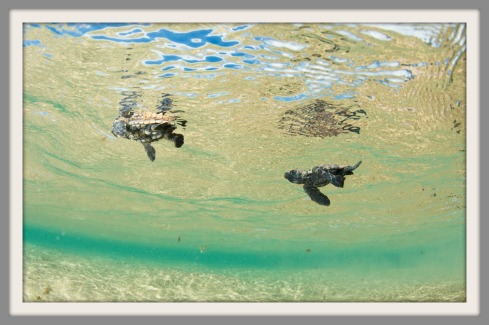 Baby turtles at Rocktail Beach Camp (image: A. Grote)